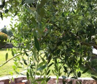 benefici foglie di olivo