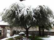 olivo sotto neve