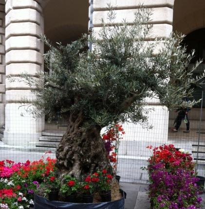 Olivo a Udine