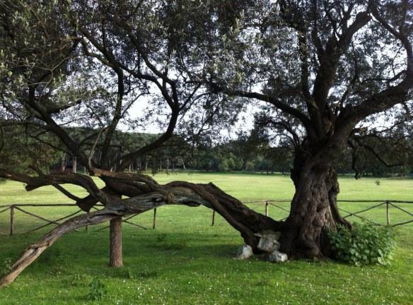 olivo brioni